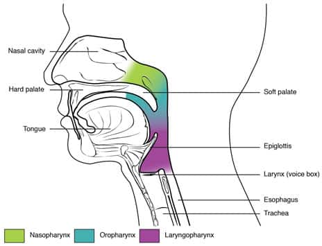 Anatomy of the Airway image