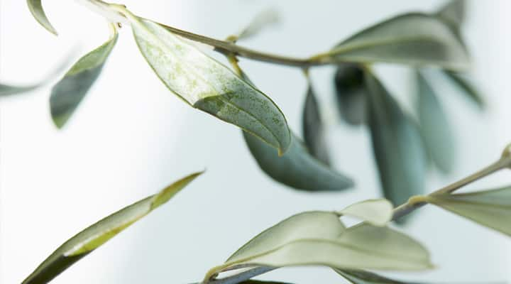 Sprig of olive leaves that has several health benefits