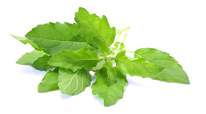 Sprig of holy basil linked with supporting metabolic function