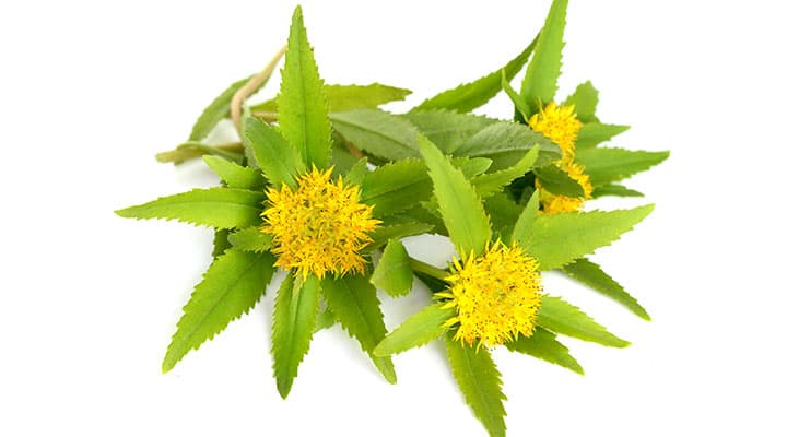 Rhodiola leaves and flowers offereing antioxiadive protection