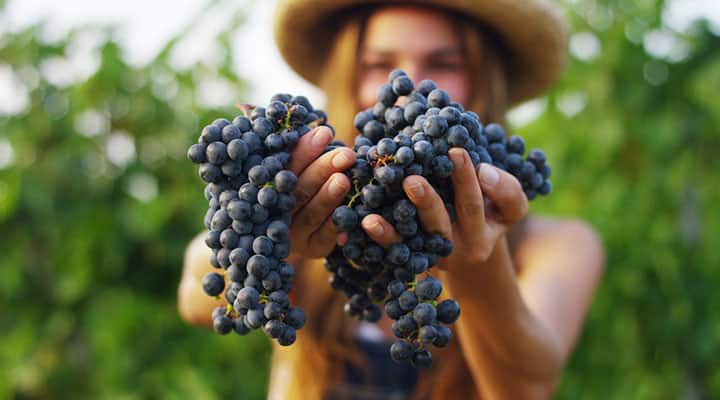Grape bunches rich in the compound resveratrol