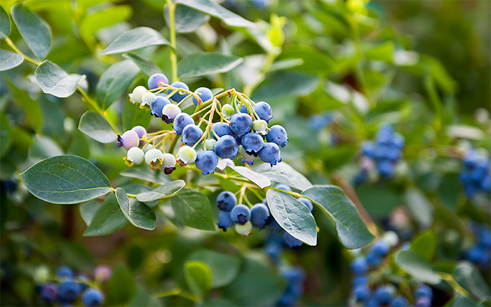 Maintaining Youthful Cognitive Function with Blueberries