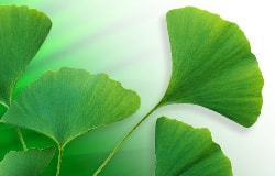Protective effect found for ginkgo against radiation damage