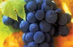 Resveratrol could help maintain senior mobility