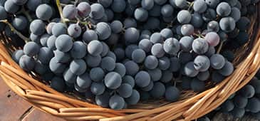 Grapes could help protect against cognitive decline