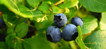 Blueberry shows bone-protective effects