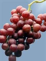 Resveratrol Powerful Prostate Cancer Protection Page 1