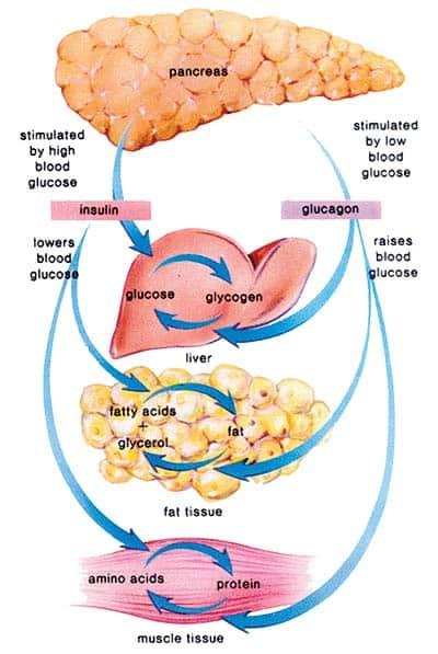 print friendly : insulin diagram - findchart.co