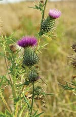 Milk Thistle Shows Protective Effect Against Chemo-induced Liver Inflammation
