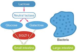 FIGURE 2: Normal Absorption of Glucose and Galactose