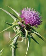 The Key to Unlocking Milk Thistle's Benefits