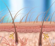 Dermal Stem Cells Stimulate Hair Growth