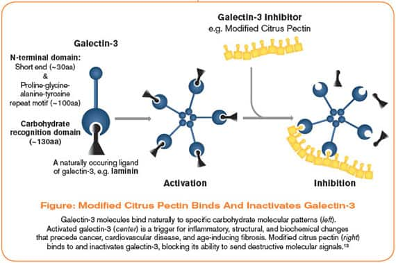 Modified Citrus Pectin Binds And Inactivates Galectin-3