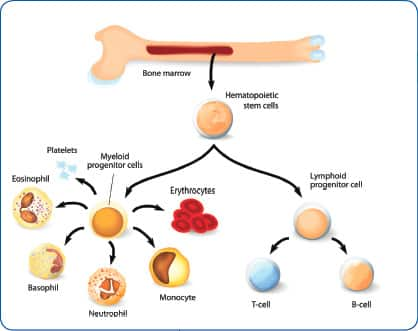How Cistanche Boosts T Cell Production and Healthy Longevity