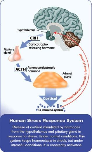 Human Stress Response System