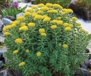 Rhodiola's Life-Enhancing Benefits