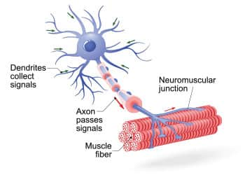 Neurological Contributions to Age-Related Muscular Dysfunction