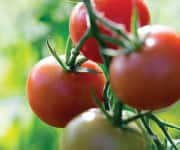 Cooked Tomatoes and Tomato Sauces help prevent prostate cancer