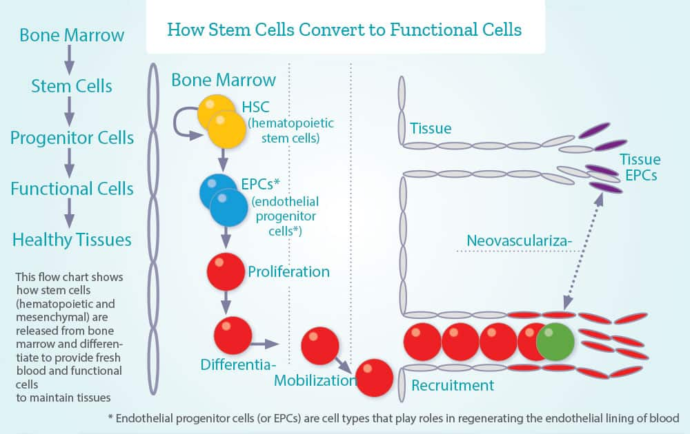 How Stem Cells Convert to Functional Cells