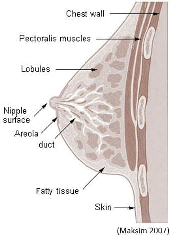 Structure and Function of the Breast